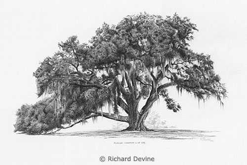 Richard's Cellon Oak drawing