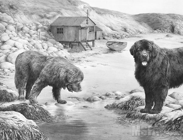 Newfoundland Dogs Fine Art Dog Print By Mike Sibley