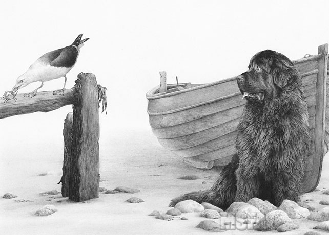 Newfoundland dog drawing -- 'Just Thinking' by Mike Sibley