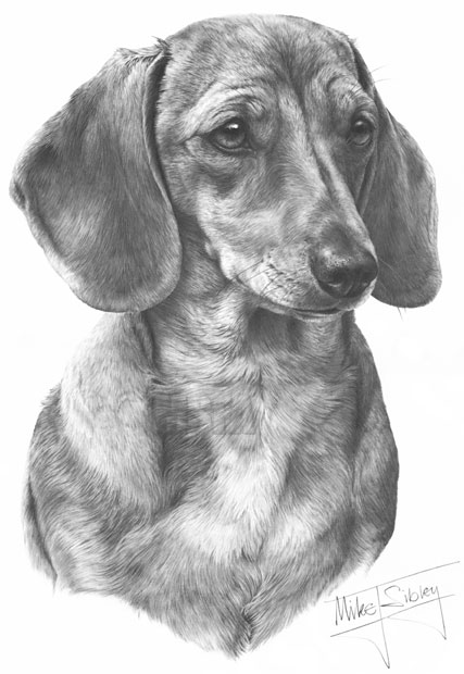 smooth haired dachshund fine art dog print by mike sibley