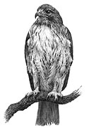 'Redtailed Hawk' - fine art print by Mike Sibley