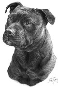 Staffordshire Bull Terrier fine art print by Mike Sibley