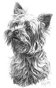 Yorkshire Terrier fine art print by Mike Sibley