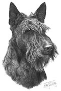 Scottish Terrier fine art print by Mike Sibley