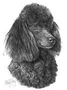 Poodle (miniature) fine art print by Mike Sibley