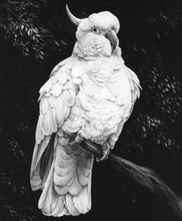 Sulphur-crested Cockatoo fine art graphite pencil dog print by Mike Sibley