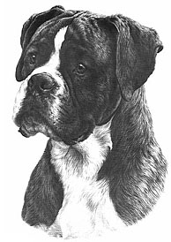 Boxer drawing © William Bacon