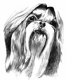 Shih Tzu drawing 1978