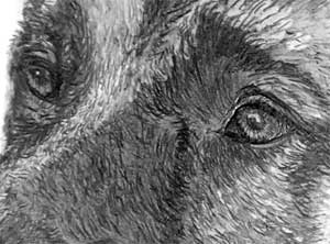 detail of the GSD's eyes