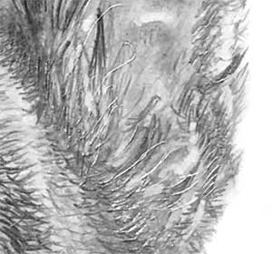 detail of the GSD's ear