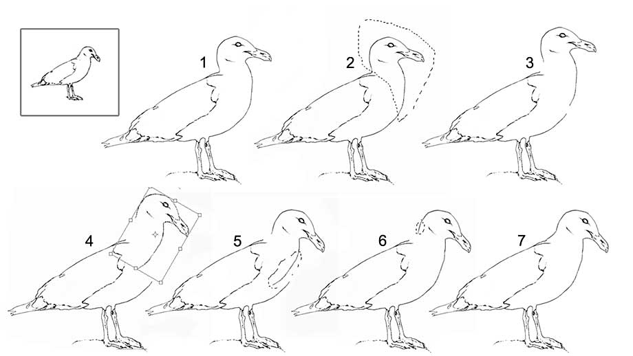 Photoshop steps to altering the pose of a gull
