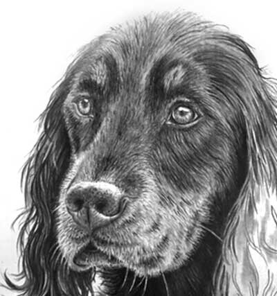 Gordon Setter pencil drawing head with white content darkened to provide solidity